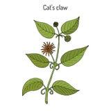 Tomentosa Uncaria когтя кота s, или vilcacora, лекарственное растение Стоковая Фотография RF