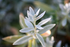 Tomentosum Cerastium (Снег-в-лето) Стоковое Изображение RF