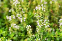 Tomilho comum de florescência ou fim vulgar do Thymus imagens de stock