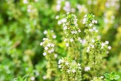 Tomilho comum de florescência ou fim vulgar do Thymus fotos de stock royalty free