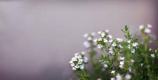 Tomilho Herb Flowers que cresce exterior em um jardim, mediter de florescência fotos de stock royalty free