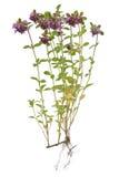 Tomilho (Thymus) Imagens de Stock