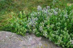 Tomilho verde de florescência em um jardim verde Close-up o tomilho cresce entre grandes pedras imagens de stock royalty free