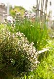 Tomillo en jardín asoleado Foto de archivo libre de regalías
