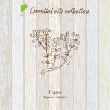 Tomillo, etiqueta del aceite esencial, planta aromática Ilustración del vector Fotos de archivo