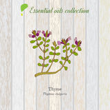 Tomillo, etiqueta del aceite esencial, planta aromática Ilustración del vector Fotografía de archivo