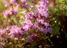 Tomillo floreciente inculto Fotos de archivo