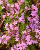 Tomillo floreciente inculto Fotografía de archivo