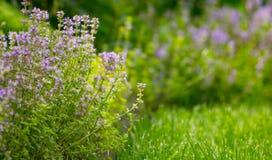 Tomillo que crece en un prado con la hierba verde, aire fresco Imagen de archivo libre de regalías