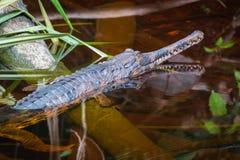 Tomistoma schlegelii in bornean forest. Tomistoma schlegelii resting in still water to Bornean forest. Often mistaken for gavials Royalty Free Stock Image
