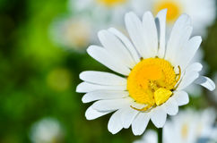 Tomisus onustus crab spider on daisy flower. Yellow Thompsidae crab spider on daisy flower with blurred flower background royalty free stock photo