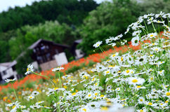 Tomita农场在6月 免版税库存照片
