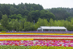 Tomita的五颜六色的花田种田, Furano,北海道 免版税库存图片