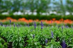 Tomita-Bauernhof im Juni Lizenzfreie Stockfotos