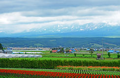 Tomita farm in June Stock Photo