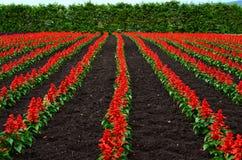 Tomita farm in June Stock Image