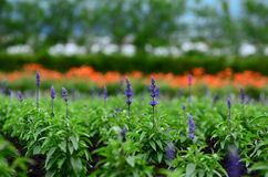 Tomita gospodarstwo rolne w Czerwu Zdjęcia Royalty Free