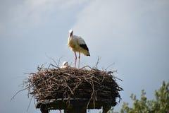 Tomma storkar bygga bo blå himmel Fotografering för Bildbyråer