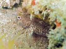 Tompot blenny. A little and curious tompot blenny fish in mediterranean sea. Picture from Portofino, Italy, 6m deep. Italian name: bavosa ruggine english name stock photos