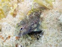 Tompot blenny macro. Macro of a tompot blenny fish from mediterranean sea (Ligura, Italy). Italian name: bavosa ruggine english name: tompot blenny scientific stock images