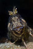 Tompot blenny staring at you. A cute Tompot blenny (Parablennius gattorugine - Linnaeus, 1758) is staring at you Stock Images
