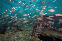 Tomtate School mixing with Glass Minnows. A large school of Tomtate fish swim with a large school of Glass Minnows (Anchovies) near a hole in the deck of the Stock Photography