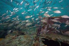 Tomtate skola som blandar med Glass liten fisk Arkivbild