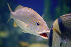 Tomtate tropical fish. In trying to bite another fish, nature Stock Photo