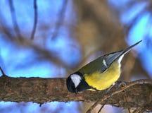 tomtit的一只小鸟坐一个树枝在公园 特写镜头 在公园路径晴朗ramenskoye的春天附近的城市日莫斯科 免版税库存图片