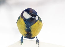 Tomtit Royalty Free Stock Photography