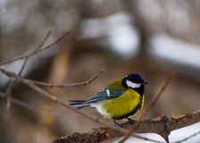 Tomtit arrived at winter park. And waiting for a place near feeder Royalty Free Stock Photo