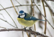 Tomtit bird Stock Images
