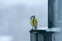 Tomtit bird. Winter tomtit bird under snow stock photography