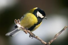 Tomtit bird Royalty Free Stock Images