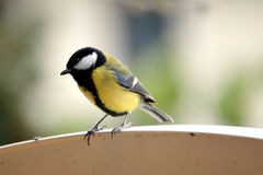 Tomtit bird Royalty Free Stock Photos