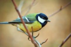 Tomtit bird. Portrait. Nature composition royalty free stock photos