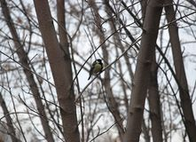 Tomtit bird sits on the branch of the tree. In the winter forest surrounded branches stock photos