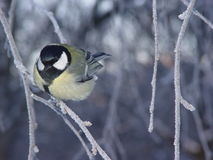 Tomtit. A bird tomtit is sitting on a branch in winnter Stock Image