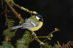 Tomtit at black background Royalty Free Stock Photography