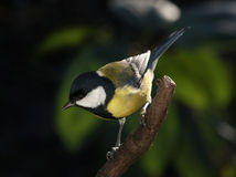 Tomtit on the branch Royalty Free Stock Image