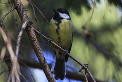 Tomtit. On branch of pine tree Stock Images
