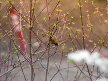 Tomtit on a branch. Of the birch spring morning royalty free stock image