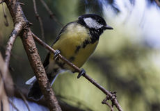 Tomtit on branch of tree Royalty Free Stock Photos