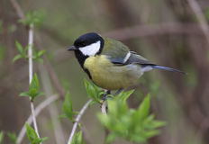 Tomtit Stock Photography