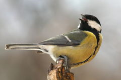 Tomtit on a dry tree stump Stock Photography