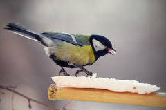 Tomtit eating fat on a birdfeeder Stock Photos