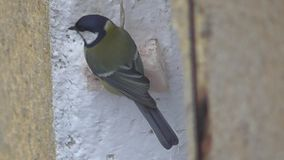 Tomtit eating fat on window stock video