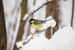 Tomtit fågelstående Royaltyfria Bilder