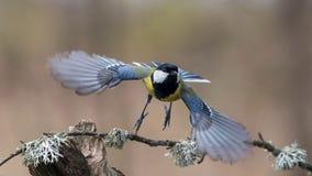 Tomtit in flight. Beautiful bird, Tomtit in flight, wings, bird in flight, wild birds royalty free stock photography