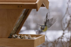 Tomtit in flight Stock Photo